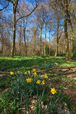 Early spring daffodils in a forest Stock Photo