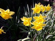 Yellow daffodils in the garden stock image