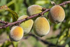 Early spring first peach fruits on the branch Royalty Free Stock Images