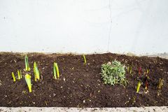 An early spring flower bed. royalty free stock photo