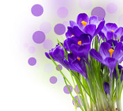 Early spring flower Crocus isolated Royalty Free Stock Image