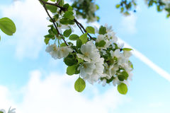 Early spring flowering apple tree with bright white flowers Royalty Free Stock Photography