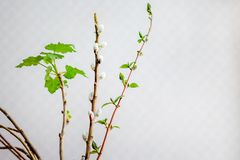 Early spring, flowering branches in room, creating cozy atmosp stock photography