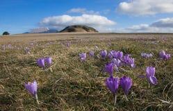 Early spring flowering of crocus vernus on Petrano mountain in Italy. Europe stock photo