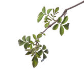 Early spring flowering green tree branch isolated on white. Royalty Free Stock Image