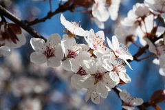 Early spring flowering trees Stock Photos