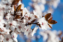 Early spring flowering trees Royalty Free Stock Images