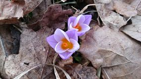 Early spring flowers crocus in the forest. Violet crocuses in the forest Stock Photo