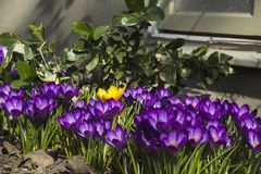 Early spring flowers in front of the wall of a house, in Stockholm, Sweden. stock photography