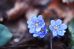 Early spring flowers hepatica Royalty Free Stock Photo