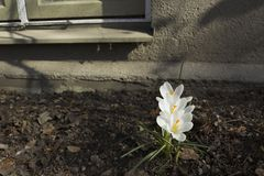 Early spring flowers, in Stockholm, Sweden. White crocus. royalty free stock images