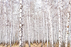 Early spring forest. Spring birch forest, bare trees Royalty Free Stock Photography