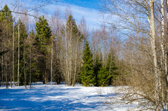 Early spring in forest Royalty Free Stock Image