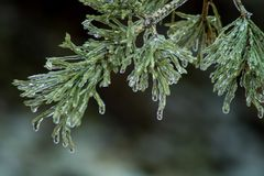 Ice From Freezing Rain Coats Pine Needles. After an early spring freezing rain storm, ice coats the branches and needs of a Red Pine tree royalty free stock photography