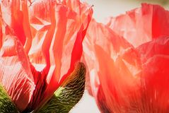 Garden Poppy Siblings Up Close stock images
