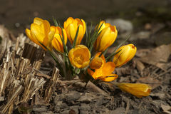 Early spring golden crocuses Royalty Free Stock Photography