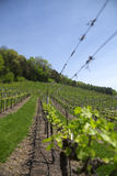Early Spring Grape Vineyard Stock Images
