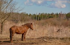 Early spring. Grazing on Pacbase emaciated during winter horses. Early spring. Grazing on pasture in the winter of emaciated horses. The grass has not grown Royalty Free Stock Photos