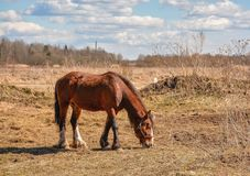 Early spring. Grazing on Pacbase emaciated during winter horses. Early spring. Grazing on pasture in the winter of emaciated horses. The grass has not grown Stock Image