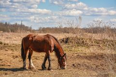 Early spring. Grazing on Pacbase emaciated during winter horses. Early spring. Grazing on pasture in the winter of emaciated horses. The grass has not grown Stock Images