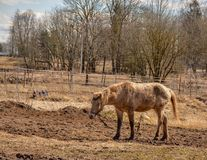Early spring. Grazing on Pacbase emaciated during winter horses. Early spring. Grazing on pasture in the winter of emaciated horses. The grass has not grown Royalty Free Stock Photography