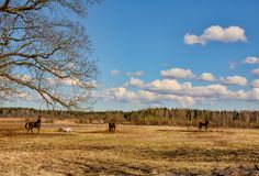 Early spring. Grazing on Pacbase emaciated during winter horses. Early spring. Grazing on pasture in the winter of emaciated horses. The grass has not grown Stock Photos