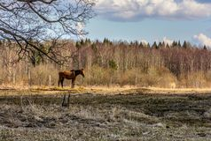 Early spring. Grazing on Pacbase emaciated during winter horses. Early spring. Grazing on pasture in the winter of emaciated horses. The grass has not grown Royalty Free Stock Photo