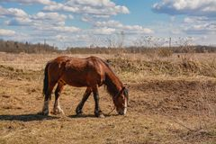Early spring. Grazing on Pacbase emaciated during winter horses. Early spring. Grazing on pasture in the winter of emaciated horses. The grass has not grown Royalty Free Stock Image