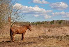 Early spring. Grazing on Pacbase emaciated during winter horses. Early spring. Grazing on pasture in the winter of emaciated horses. The grass has not grown Stock Photography