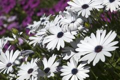 Flowering white african daisy bush with sapphire blue eyes. Early spring has arrived in the garden Sydney, Australia stock photo
