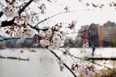Early spring Japanese sakura cherry blossom, flowers blooming in. The city park on blurred lake and buildings background in evening atmosphere, soft focus Stock Photo