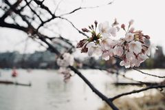 Early spring Japanese sakura cherry blossom, flowers blooming in. The city park on blurred lake and buildings background in evening atmosphere, soft focus Royalty Free Stock Photos