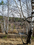 Early spring landscape with birches Royalty Free Stock Images