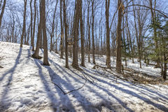 Early spring at maple trees forest. Spring walk in maple trees forest during maple syrup festival in Ontario, Canada near Toronto. Sun is melting snow on the Stock Image