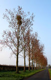 Early Spring Morning, A line of Tree`s with Mistletoe stock photos