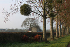 Early Spring Morning, A line of Tree`s with Mistletoe royalty free stock photos