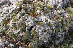 Early spring moss on the rocks of sandstone. Royalty Free Stock Image