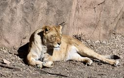 African Lion Snoozing in the Sun. This is an early Spring picture of a female African Lion Snoozing in the in the Sun in her compound at the Lincoln Park Zoo Stock Images