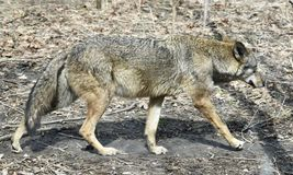 Red Wolf on the Prowl. This is an early Spring picture of a Red Wolf prowling her compound at the Lincoln Park Zoo located in Chicago, Illinois in Cook County Royalty Free Stock Photo