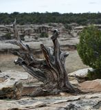 Dead Common Juniper Tree. This is an early Spring picture of the the stump and remains of a Common Juniper Tree in Colorado National Monument located in Grand stock photography