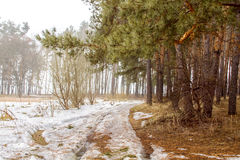 Early spring. Pine and birch forest nal spring royalty free stock photos