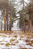 Early spring. Pine and birch forest nal spring stock images
