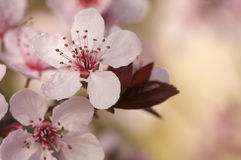 Early Spring Pink Tree Blossoms Stock Image