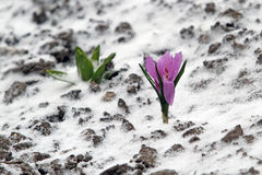 Early spring purple crocus bloom, but suddenly he returned to th. E winter and the snow fell. Never give up in front of a gust of wind and difficulties Stock Photography