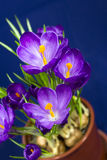 Early spring purple Crocus in the pot Stock Images