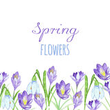 Early spring purple crocus and snowdrops nature beauty flowers vector. Crocus snowdrops flower color and purple crocus bouquet petal natural bloom. Pring Royalty Free Stock Photos