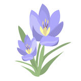 Early spring purple crocus and snowdrops nature beauty flowers vector. Royalty Free Stock Photo