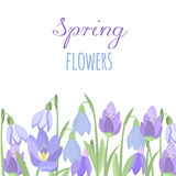 Early spring purple crocus and snowdrops nature beauty flowers vector. Crocus snowdrops flower color and purple crocus bouquet petal natural bloom. Purple Royalty Free Stock Photo