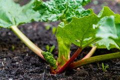 Early spring red rhubarb stalks growing out of a rhubarb crown. Depicting edible, perennial vegetable with oxalic acid, making stock photos