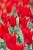 Early spring red tulip on flower bed Royalty Free Stock Image
